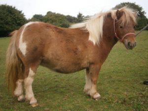 Shetland,Miniature,pony,Skewbald,