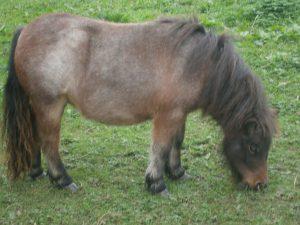 Shetland,pony,miniature,Bay Roan,