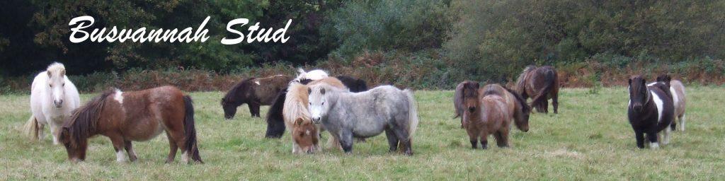 Miniature,Shetlands,Penryn,Falmouth,,Cornwall,