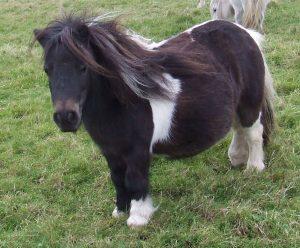 Shetland pony,Skewbald,miniature