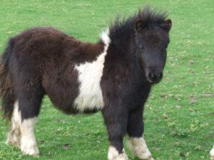 Shetland,Miniature,pony,black,Cornwall,piebald