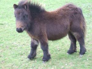 Shetland,Miniature,pony,Cornwall