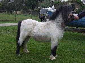 Shetland,pony,miniature,Skewbold,Bay Roan,