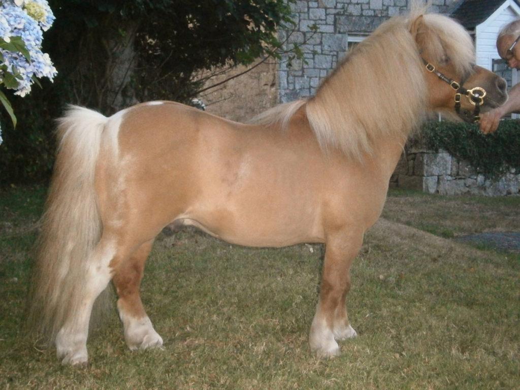 Shetland,pony,miniature,Penryn,Falmouth,cornwall